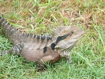Slanting and part view from above of a large lizard. On green meadow Stock Photography
