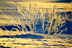 Winter-sketching. The slanting rays of the sun illuminated the morning winter grass Royalty Free Stock Photography