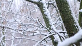 Slanting snow falls on background of tree crown in winter day.  stock video