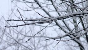 Slanting snow falls on background of tree crown in winter day.  stock video footage