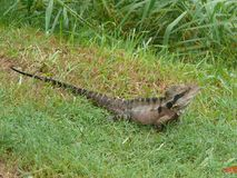 Slanting View from above of a large lizard. On green meadow Stock Photos