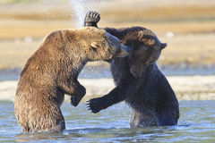 Slap upside your head. Brown bear slaps another boar with paw Royalty Free Stock Image