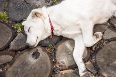Slapen van een hond Stock Afbeeldingen