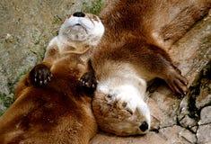 Slapende Otters Stock Fotografie