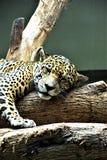 Slaperig Jaguar royalty-vrije stock foto's