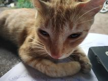 Slaperig katje mijn beste huisdierenkurinji stock afbeelding