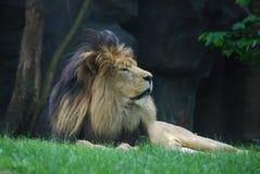 Slaperig Lion Resting in Groen Gras onder een Boom Royalty-vrije Stock Afbeeldingen