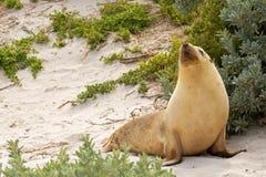 Slaperig ogenblik voor Australische Zeeleeuw die op warm zand bij Se rusten royalty-vrije stock foto