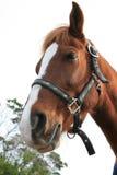 Slaperig paard Stock Foto's