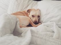 Slaperig puppy stock fotografie