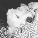 Slaperig puppy royalty-vrije stock foto's