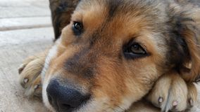 Slaperig puppy Stock Foto