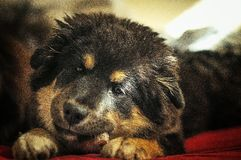 Slaperig puppy Stock Foto's