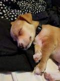 Slaperig puppylotto stock foto