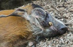 Slaperig rood riviervarken stock afbeeldingen