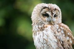 Slaperig Tawny Owl stock foto