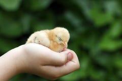 Slaperig weinig gele kip stock afbeelding
