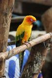 Slaperig weinig kleurrijke papegaai Royalty-vrije Stock Foto's