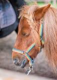 Slaperig weinig poney royalty-vrije stock foto