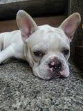 Slaperig wit puppy in warme de zomerdag royalty-vrije stock afbeeldingen