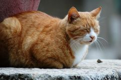 Slaperige bruine kat Stock Afbeelding
