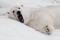 Slaperige geeuwen De krachtige ijsbeer ligt in de sneeuw, close-up stock foto's