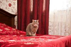 Slaperige grijze kat in slaapkamerbinnenland Royalty-vrije Stock Afbeelding
