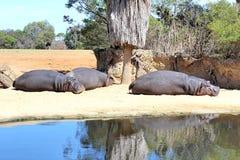 Slaperige Hippos Stock Foto's
