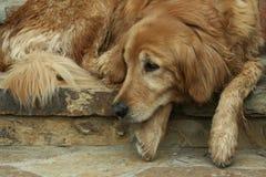 Slaperige Hond Royalty-vrije Stock Afbeeldingen