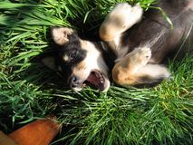 Slaperige Hond stock fotografie
