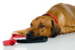 Slaperige Hond Royalty-vrije Stock Afbeelding