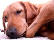 Slaperige hond Royalty-vrije Stock Foto