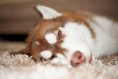 Slaperige Hond Stock Foto
