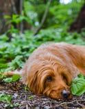 Slaperige hond die op de bosvloer rusten royalty-vrije stock foto