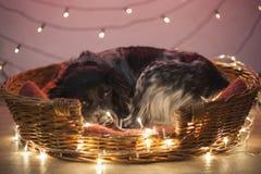 Slaperige hond in een mand met Kerstmislichten stock afbeeldingen