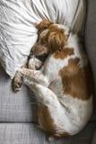 Slaperige hond op laag en pillo royalty-vrije stock afbeelding