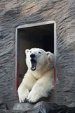 Slaperige ijsbeer Stock Foto