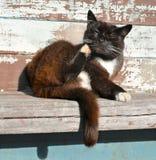 Slaperige kat die zijn hoofd van achterpoot krassen Stock Afbeeldingen
