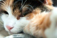 Slaperige kat selfie Stock Afbeeldingen
