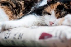 Slaperige kattenhouding Stock Afbeelding