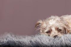 Slaperige Kleine Terrier-Hond op Grey Fur Royalty-vrije Stock Fotografie