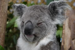 Slaperige Koala Stock Afbeelding