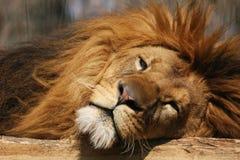 Slaperige leeuw Royalty-vrije Stock Afbeelding