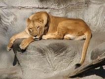 Slaperige leeuw stock afbeelding