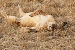 Slaperige leeuw in avondzon in Serengeti van Tanzania royalty-vrije stock afbeelding
