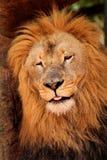 Slaperige Leeuw die weg sluimeren Stock Afbeeldingen