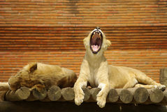 Slaperige Leeuwen Royalty-vrije Stock Afbeeldingen