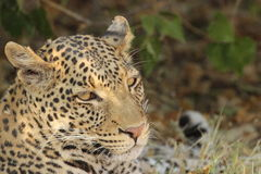 Slaperige luipaard Stock Foto