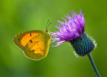 Slaperige Oranje vlinder, eurema nicippe Royalty-vrije Stock Afbeeldingen