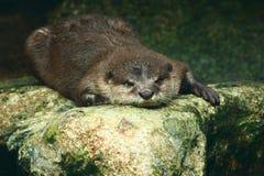 Slaperige Otter Royalty-vrije Stock Fotografie